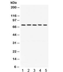 Anti-LIM Kinase 1 / LIMK1