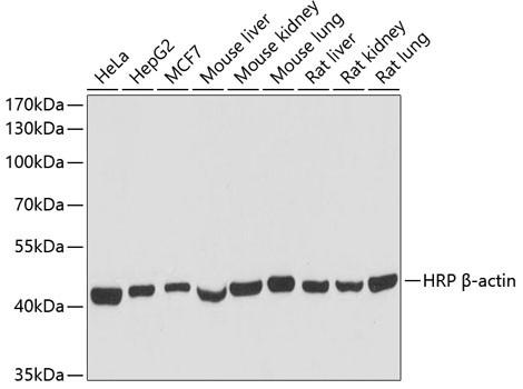 Anti-ACTB, HRP-conjugated (CABC028)