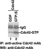 Anti-Active Cdc42, monoclonal