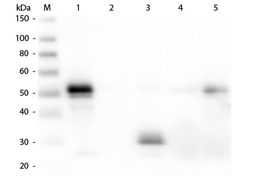 Anti-Rabbit IgG F(c) [DONKEY], Rhodamine conjugated