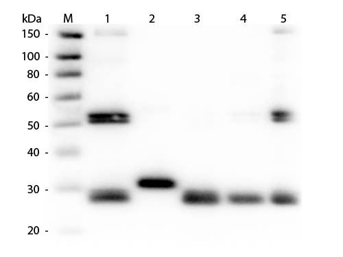 Anti-Rat IgG (H&L) (Min X Human Serum Proteins), DyLight 649 conjugated