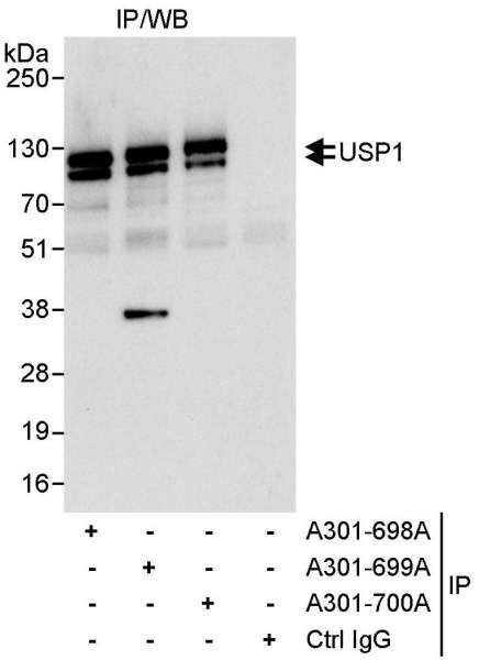 Anti-USP1