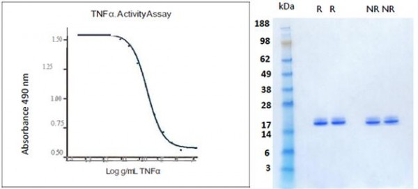 Tumor Necrosis Factor alpha (TNF alpha), human recombinant (HumaXpress)