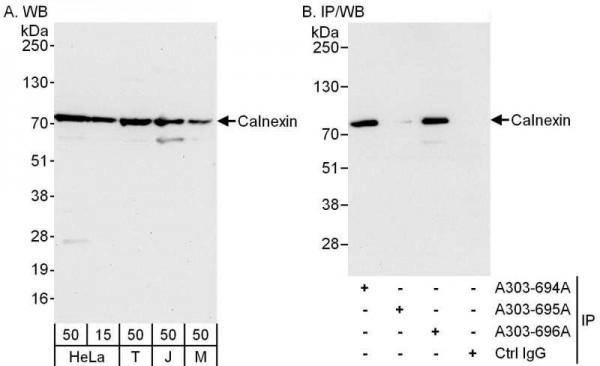 Anti-Calnexin
