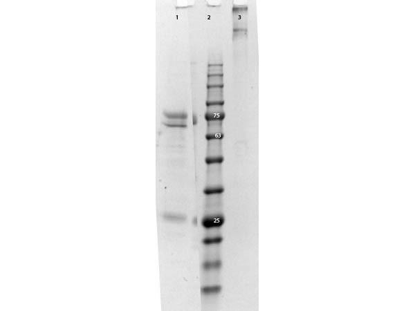 Cat IgM Whole Molecule