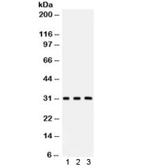 Anti-Peroxiredoxin 4 / PRDX4