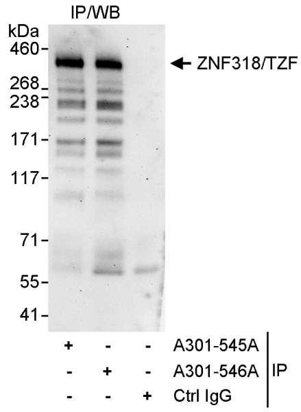 Anti-ZNF318/TZF