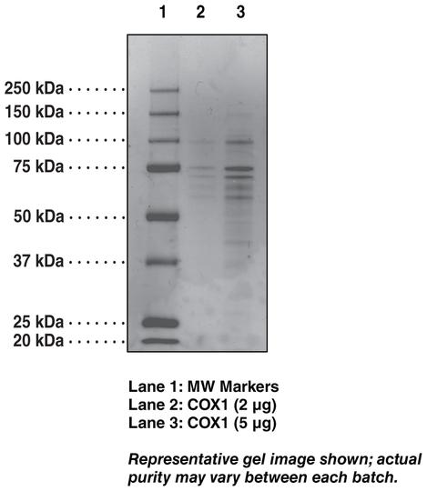COX-1 (ovine)