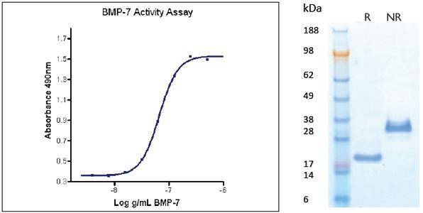Bone Morphogenetic Protein-7 (BMP-7), human recombinant (HumaXpress)