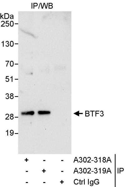 Anti-BTF3