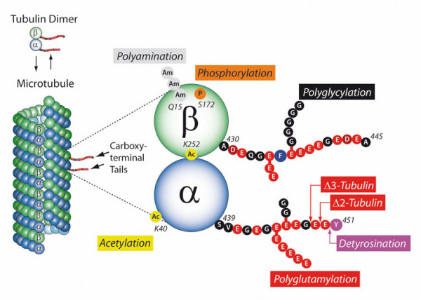 AdipoGen-Microtubule-PTMs