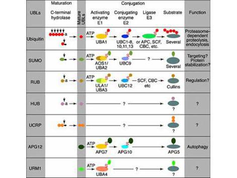 Anti-Ubiquitin-Conjugating Enzyme E2J2 (Ube2j2)