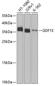 Anti-GDF15