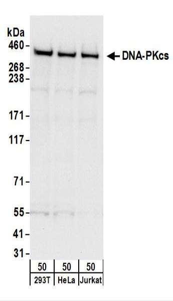 Anti-DNA-PKcs