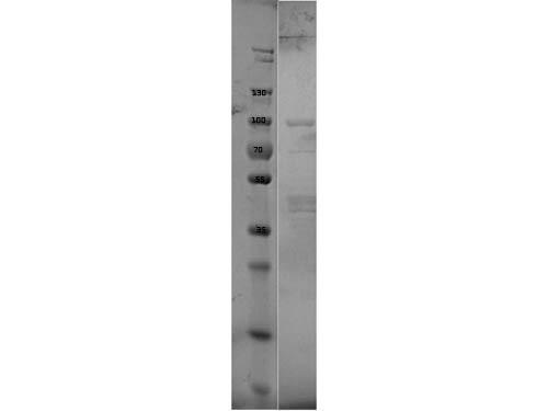 Erpd/Arp37 Control Protein