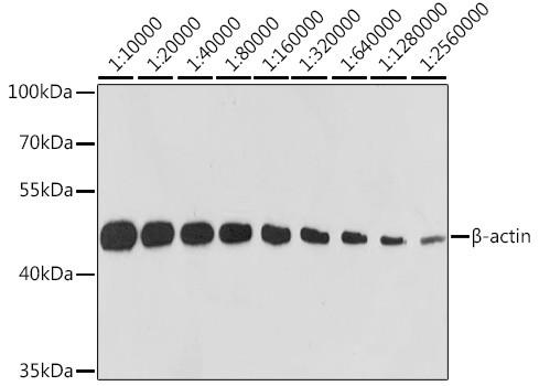 Anti-Beta Actin (CABC026)
