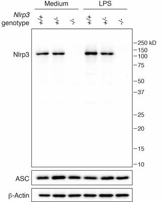 Anti-NLRP3/NALP3, clone Cryo-2