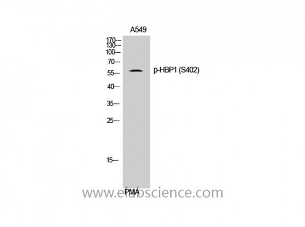 Anti-Phospho-HBP1 (Ser402)