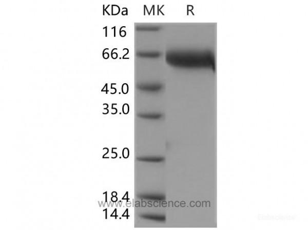 LIF Protein (Fc Tag) (recombinant human)