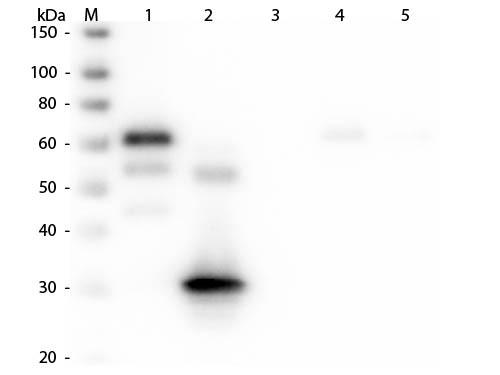 Anti-Chicken IgG F(c) [Rabbit] Rhodamine conjugated
