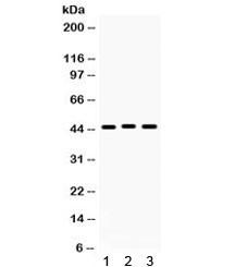 Anti-Connexin 45 / GJC1