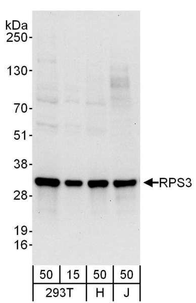Anti-RPS3