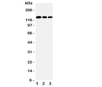 Anti-Collagen I / COL1A1