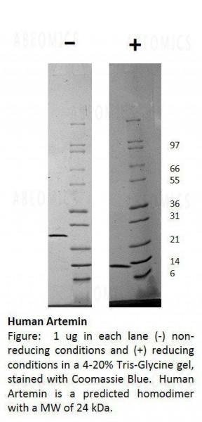 Human Artemin