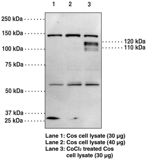 Anti-HIF-1alpha (C-Term)