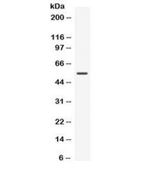 Anti-Nucb2 / Nucleobindin 2