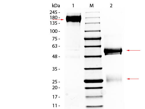 Rabbit IgG, whole molecule -purif. protein-