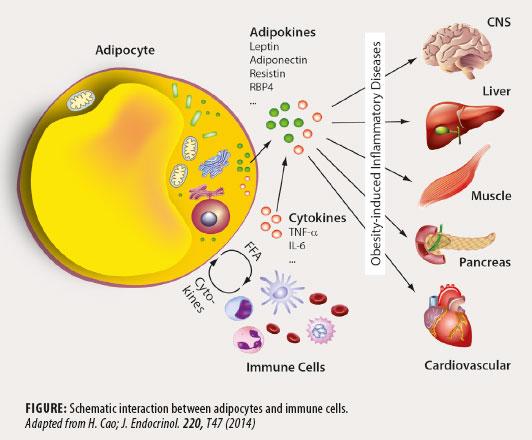 Adipocyte