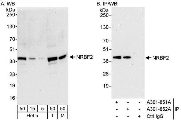 Anti-NRBF2