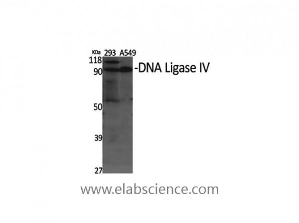 Anti-DNA Ligase IV