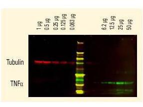Anti-Goat IgG (H&L) (Min X Human Serum Proteins), DyLight 680 conjugated