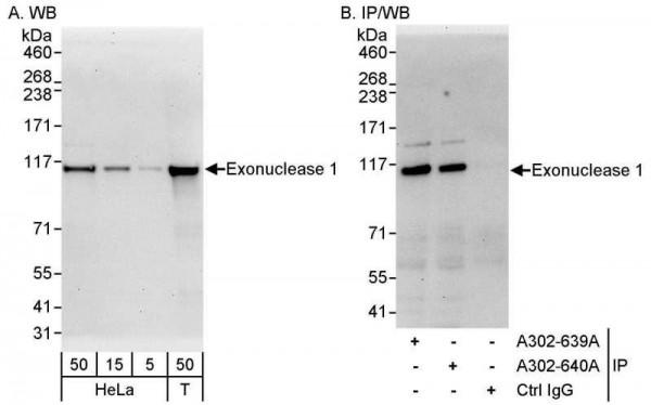 Anti-Exonuclease 1