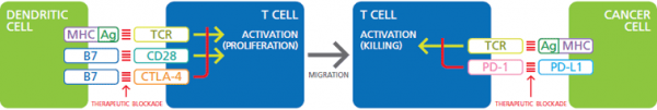 Co-Stimulation-of-TCR-and-CD28