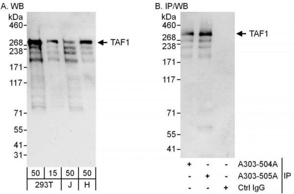 Anti-TAF1