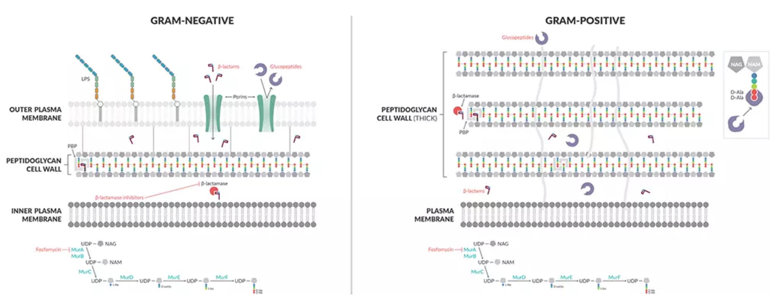 Antibiotics-Cell-wall