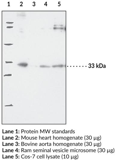 Anti-Prostaglandin E Synthase-2 (microsomal)