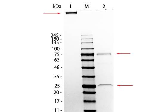Mouse IgM Whole Molecule
