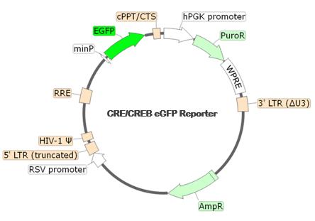 CRE/CREB eGFP Reporter Lentivirus