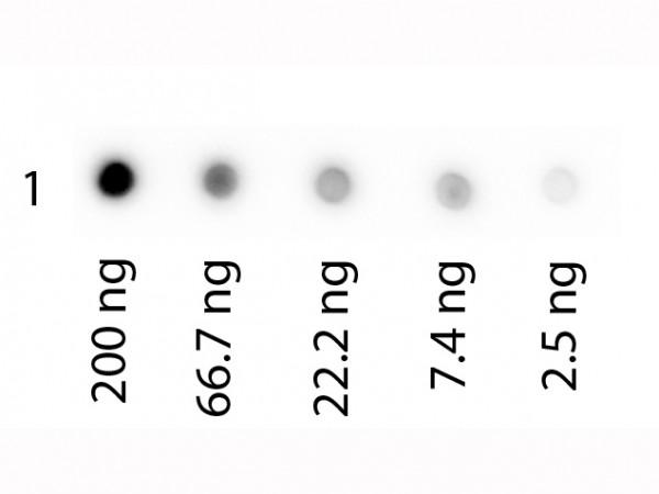 Human Transferrin Biotin Conjugated