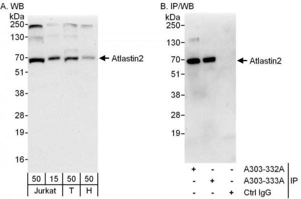 Anti-Atlastin2