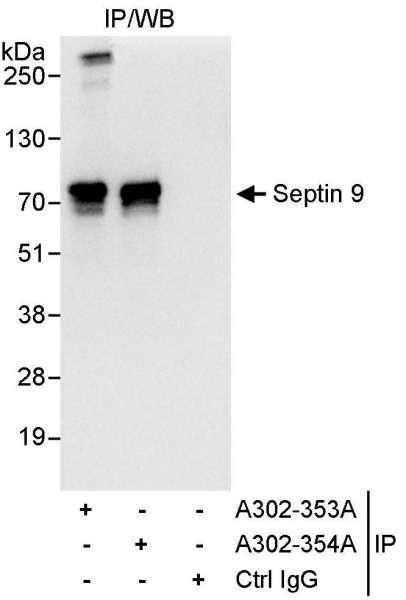 Anti-Septin 9