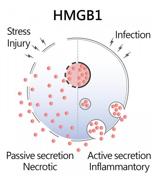 HMGB1-Overview