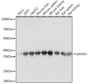 Anti-GAPDH (CABC001)