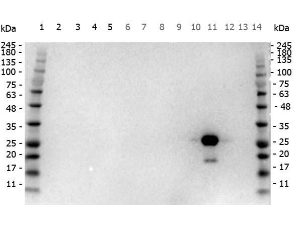 Anti-Green Fluorescent Protein (GFP), Horseradish Peroxidase conjugated