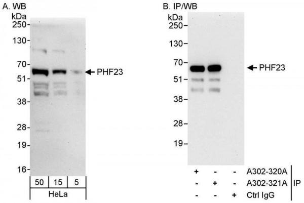 Anti-PHF23