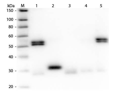 Anti-Rat IgG (H&L) [Goat] Peroxidase conjugated